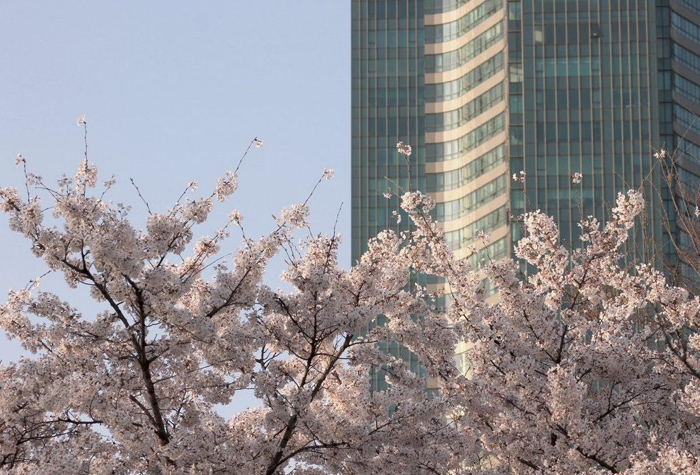 matkavinkit etelä-koreaan kirsikkapuu